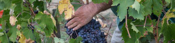 Contadino nella raccolta dell'uva