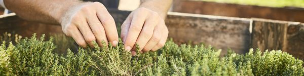 Close-up of hands harvesting herbs from crate. Plants growing in box at garden. Man is at organic farm.